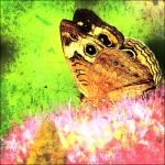 """Butterfly & Sedum"" by FranklinThompson"