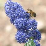 """""""Abeja de la miel sobre Ceanothus thyrsiflorus"""" by Preciouscn"""