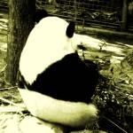 """""""Panda"""" by Shesgottheeye"""