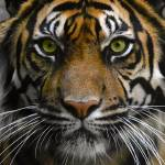"""Eye of the Tiger !"" by sureshgundappa"