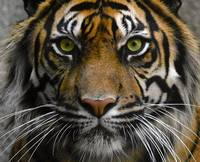 Eye of the Tiger !