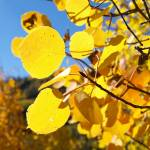 """Aspen Leaves"" by markusberndt"