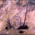 """""""Dead Tree at Mammoth Hot Springs"""" by markusberndt"""