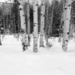 """Aspens in the Snow"" by fiveoclockimages"