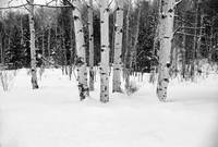Aspens in the Snow