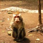 """""""Chained monkey"""" by PETER100"""