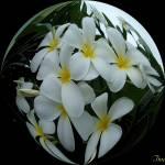 """""""plumeria circle"""" by ii4u"""
