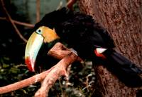 Toucan side view