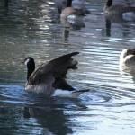 """""""geese"""" by jherrin"""
