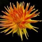 """""""Sea Urchin? No, Dahlia"""" by BuyArt"""