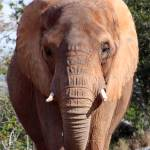 """""""African Elephant"""" by rdwittle"""