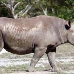 """Black Rhinoceros"" by rdwittle"