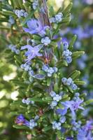 Rosemary, Fota Blue