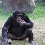 """""""Chimpanzee"""" by rdwittle"""
