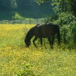 """horse in buttercups"" by LOUISEDIONNE"
