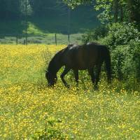 horse in buttercups by Louise Dionne