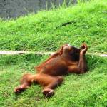 """Relaxing orang-utan"" by PETER100"