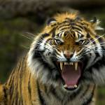 """""""Eye of the Tiger"""" by Dawsonimages"""