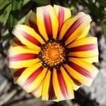"""""""Striped Daisy"""" by Groecar"""