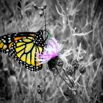 """Butterfly Selective Sepia Painting"" by Cody_00_XJ"