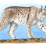 """Canadian Lynx"" by inkart"