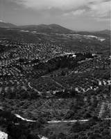 Peloponnesian Olive and Orange Groves