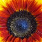 """I Love Sunflowers!"" by BuyArt"