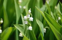 LilyOfTheValley_3_17x11x300