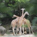 """Giraffe Tripod"" by seacat"