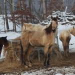 """""""Horses in the winter"""" by sherryswest"""