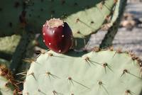 Prickly Pear at Boothill