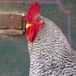 """Handsome Barred Rock Rooster"" by AnimalMagnatism"