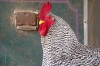 Handsome Barred Rock Rooster