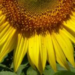 """1-2 sunflower sq 2 P1110750, Heidi Brandt"" by GypsyChicksPhotography"