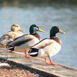 """Three Ducks in a Row"" by FidelityPhotos"
