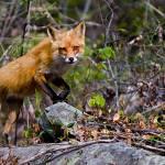 """Fox on the  Run"" by BigRPhoto"
