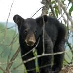 """""""Bear Cub"""" by BigRPhoto"""