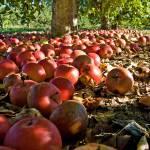 """Apple Harvest"" by BigRPhoto"