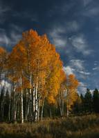 Aspen Stand in Autumn
