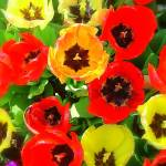 """""""Poppies...Flowers"""" by Philippa"""
