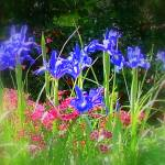 """Flowers - Blue Iris"" by Philippa"