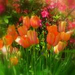 """Flowers - Coral Tulips"" by Philippa"