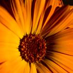 """Yellow Flower"" by PhotographerTO"