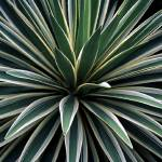 """Yucca Plant"" by fiveoclockimages"