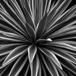 """Yucca - Black and White"" by fiveoclockimages"