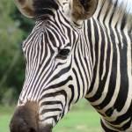 """zebra stripes"" by Romaen"