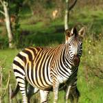"""Zebra"" by Romaen"