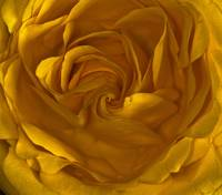 Yellow Rose Center