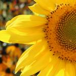 """Sunflower 2007"" by FidelityPhotos"