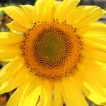 """Suburban Sunflower"" by FidelityPhotos"